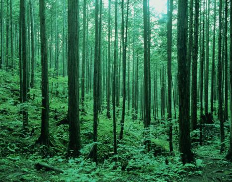 Cypress Tree「Japanese Cypress trees (Crytomeria japonica)」:スマホ壁紙(3)