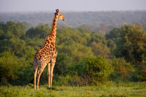 Giraffe「Lone Giraffe (Giraffa camelopardalis) Overlooking Lush Vegetation」:スマホ壁紙(5)