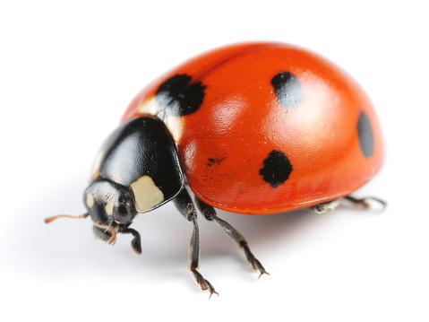 Ladybug「A seven spotted Ladybug on a white background」:スマホ壁紙(2)