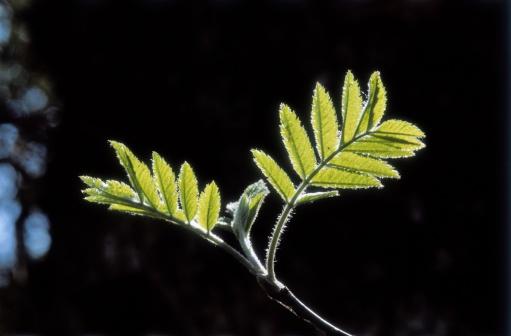 Rowanberry「Rowan leaves, Sorbus aucuparia, Drummondreach wood, Ross-shire, Scotland」:スマホ壁紙(10)