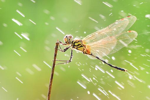 Dragonfly「Dragonfly in the rain, Batam, Kepulauan Riau, Indonesia」:スマホ壁紙(18)
