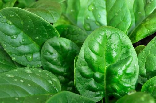Spinach「Crop of baby spinach in the garden」:スマホ壁紙(16)