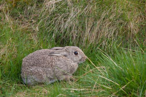 Rabbit「a brown rabbit hides in the grass」:スマホ壁紙(9)