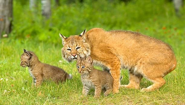 Bobcat family:スマホ壁紙(壁紙.com)
