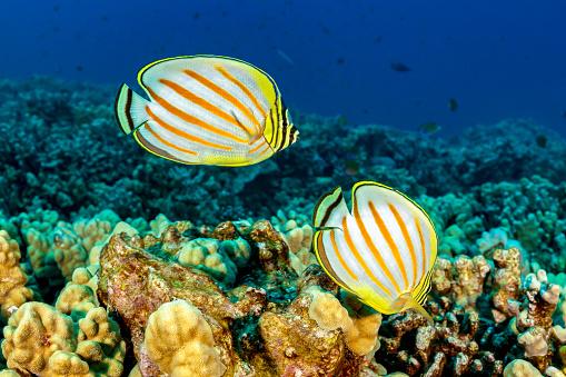 Butterflyfish「Pair of Ornate Butterflyfishes Chaetodon ornatissimus on Coral Reef, Big Island, Hawaii」:スマホ壁紙(7)