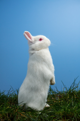 うさぎ「White fluffy rabbit standing up on the grass」:スマホ壁紙(14)