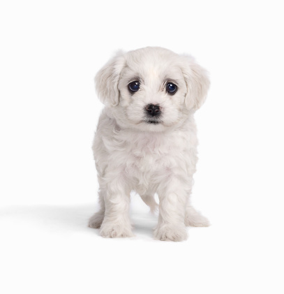 Baby animal「White Fluffy Puppy」:スマホ壁紙(18)