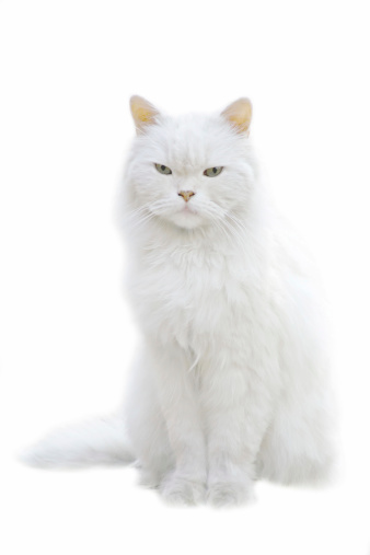 Cat「A white fluffy cat sitting isolated on white background」:スマホ壁紙(16)