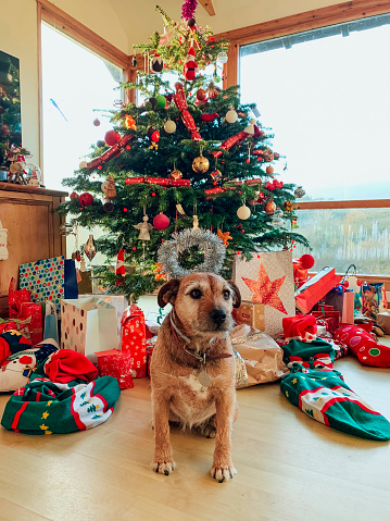 Real Life「Patterdale Terrier Enjoying Christmas Day」:スマホ壁紙(3)