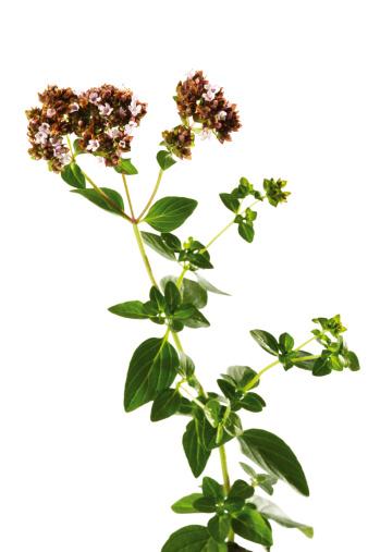 葉・植物「'Flowering oregano, close-up'」:スマホ壁紙(13)