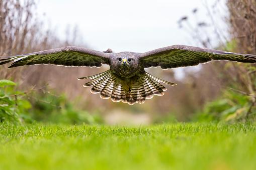 Hawk - Bird「A wild buzzard hunting for prey.」:スマホ壁紙(18)