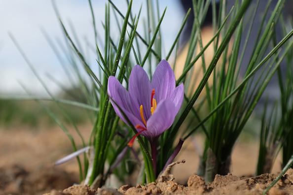Spice「Saffron Harvest In Castilla La Mancha Region」:写真・画像(8)[壁紙.com]