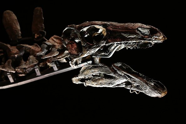 Dinosaur「Complete Stegosaurus Fossil Unveiled At Natural History Museum」:写真・画像(7)[壁紙.com]