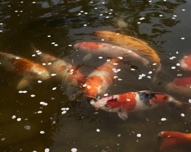 Carp fish in Nara Park, Nara:スマホ壁紙(壁紙.com)