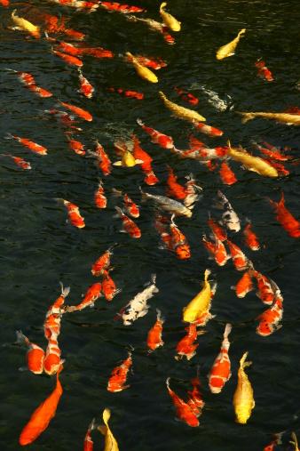 Carp「Carp Fish in Pond」:スマホ壁紙(18)