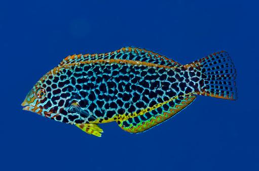 ソロモン諸島「Leopard Wrasse」:スマホ壁紙(19)