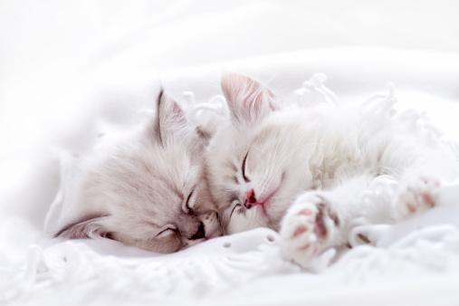 Kitten「寝室を一緒に 2 つの白いキトン」:スマホ壁紙(7)