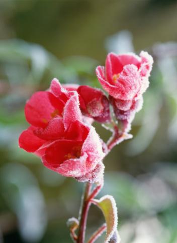 マルメロ「Frost on Japanese quince flowers. Hokkaido, Japan, Tomakomai」:スマホ壁紙(18)