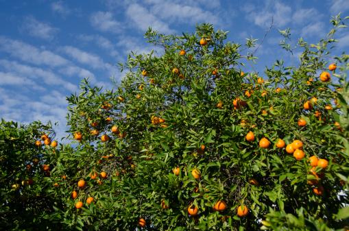 Deciduous tree「Citrus tree with fruit」:スマホ壁紙(6)