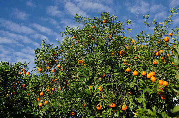 Citrus tree with fruit:スマホ壁紙(壁紙.com)