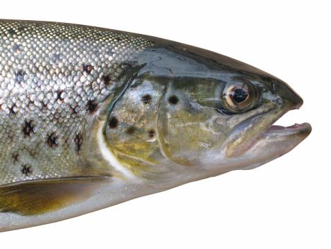 大昔の「trout」:スマホ壁紙(8)