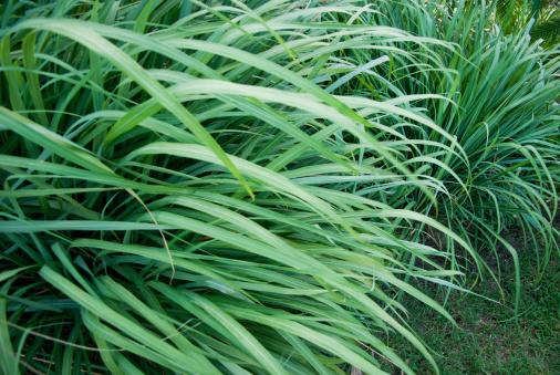 Reforestation「wild grass or wildgrass; lemongrass」:スマホ壁紙(8)