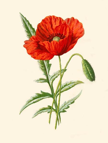 Single Flower「Scarlet Poppy」:写真・画像(0)[壁紙.com]