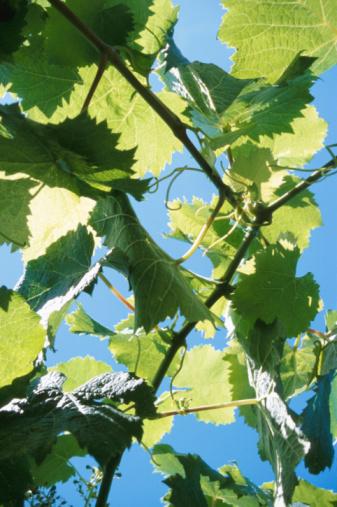 Low Angle View「Backlit grape leaves on vine」:スマホ壁紙(15)