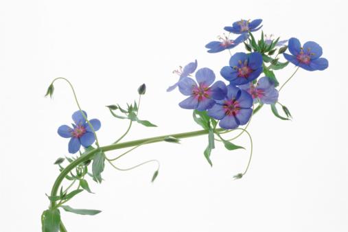 Vine - Plant「Flowers on branch」:スマホ壁紙(2)