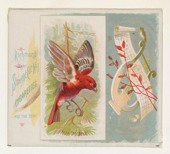 Songbird「Pine Grosbeak」:写真・画像(14)[壁紙.com]