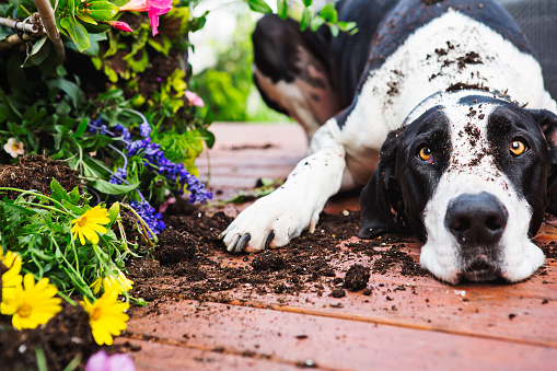 Gardening「Dog digging in garden」:スマホ壁紙(4)
