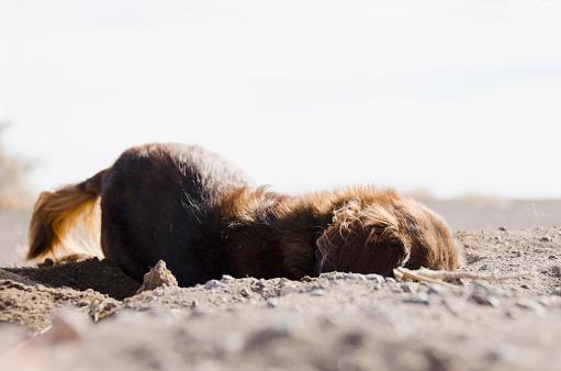 Long Hair「Dog digging in sand」:スマホ壁紙(14)