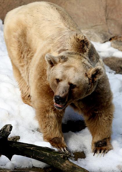 Ice Sculpture「Melbourne Zoo's Snow Leopards & Bears Enjoy Snowy Winter Wonderland」:写真・画像(16)[壁紙.com]