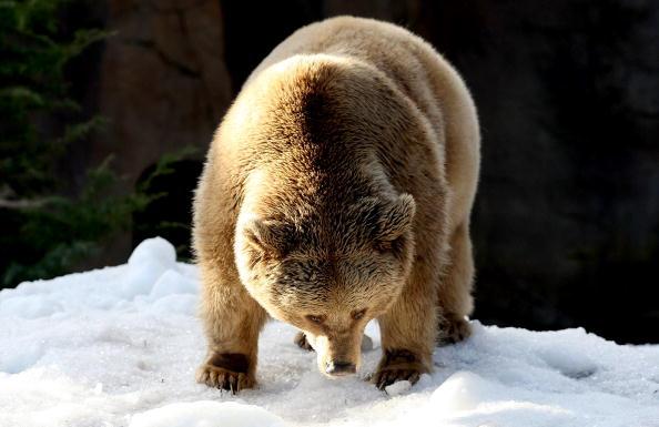 Ice Sculpture「Melbourne Zoo's Snow Leopards & Bears Enjoy Snowy Winter Wonderland」:写真・画像(17)[壁紙.com]
