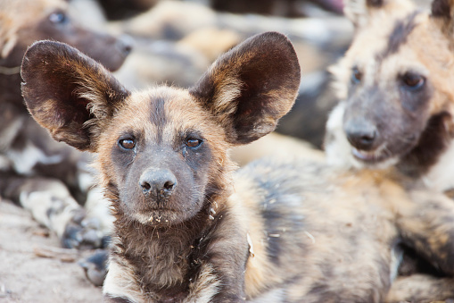 Pack Animal「A wild dog wakes from a nap and looks directly into the camera, low angle」:スマホ壁紙(11)