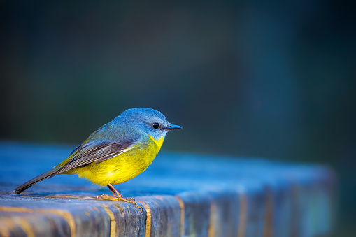 Bird「Eastern Yellow Robin (Eopsaltria australis)」:スマホ壁紙(15)