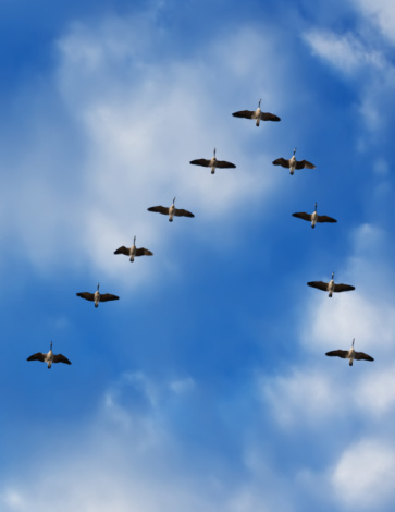 Flock Of Birds「Canada geese in flight, low angle view」:スマホ壁紙(3)