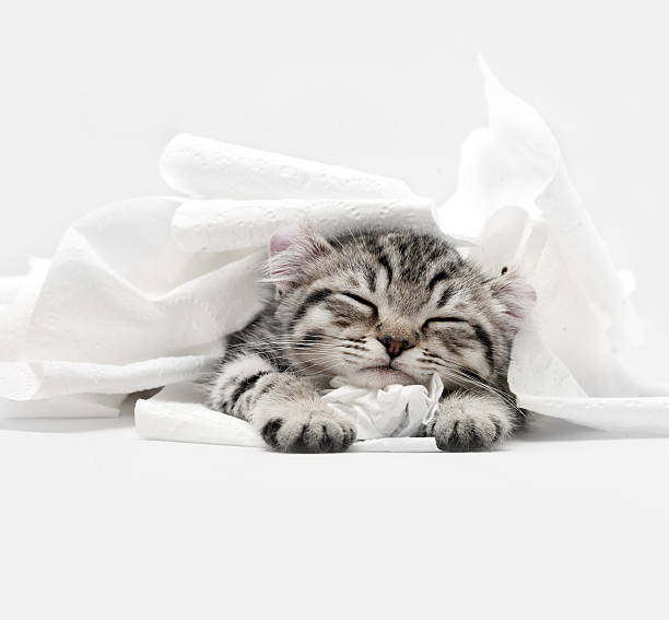 Highland Lynx Kitten:スマホ壁紙(壁紙.com)