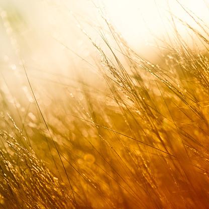 花畑「ゴールドのフィールド」:スマホ壁紙(7)