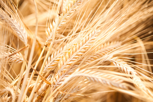 Agricultural Field「Barley」:スマホ壁紙(11)