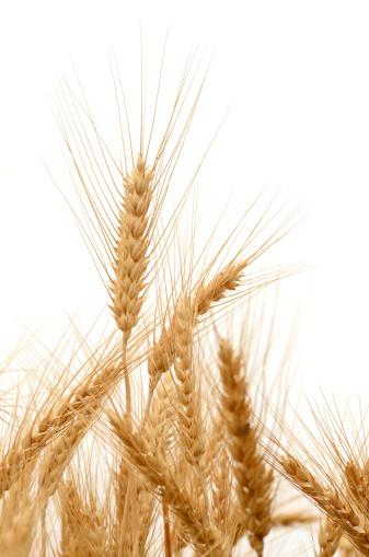 Corn - Crop「Barley」:スマホ壁紙(10)
