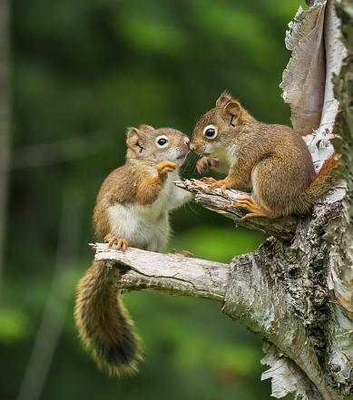 Squirrel「Two Red Squirrels (Sciurus Vulgaris) Playing In A Tree」:スマホ壁紙(0)