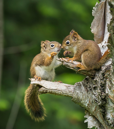 Squirrel「Two Red Squirrels (Sciurus Vulgaris) Playing In A Tree; Ontario, Canada」:スマホ壁紙(2)