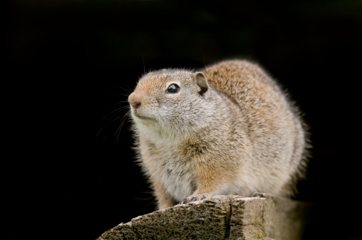 Wooden Post「Richardsons ground squirrel in wood pile」:スマホ壁紙(8)