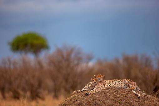 African Cheetah「A friendship posture of two adult cheetahs (Acinonyx jubatus) resting on a mound at plain」:スマホ壁紙(5)