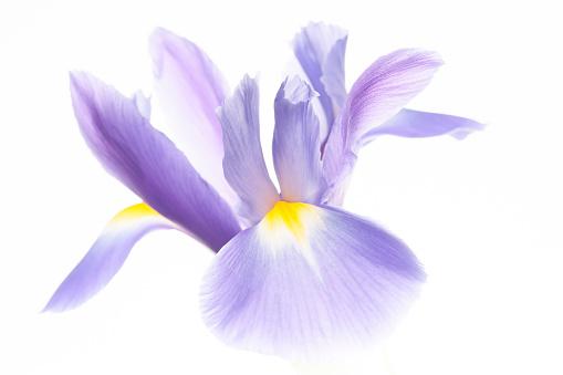 North Island New Zealand「Iris Flower」:スマホ壁紙(6)