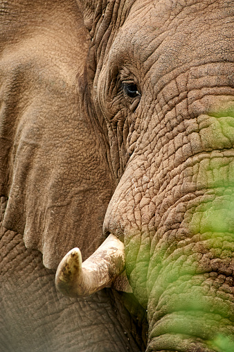 Animal Ear「Close-up full colour vertical image of a male Elephant, standing motionless in the midday heat. Front right profile. Thanda Game Reserve, Kwazulu-Natal, South Africa」:スマホ壁紙(15)