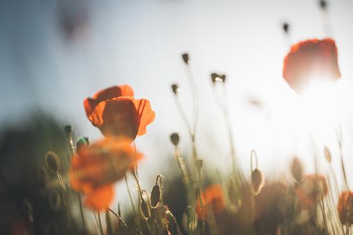 花畑「夕暮れと美しい夕日に赤いケシ」:スマホ壁紙(2)