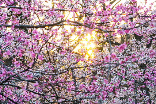 Cherry Blossom「The sunset illuminates Cherry blossoms from behind petals in Central Park New York.」:スマホ壁紙(13)