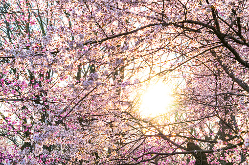 Cherry Blossom「The sunset illuminates Cherry blossoms from behind petals in Central Park New York.」:スマホ壁紙(12)